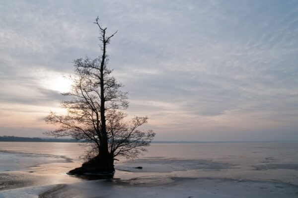 The Irrepressible Lifeforce – Alder tree on the beach of Fulltofta, frozen lake